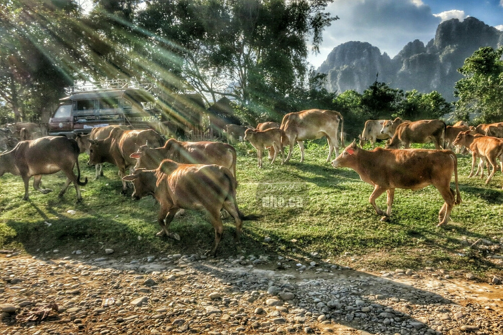 Cows grazing by the Nam Xong river in Vang Vian, Laos.